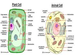 Structure Of Animal And Plant Cell Download Scientific Diagram