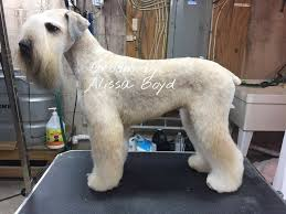 Perfect Wheaten Terrier Groom Dog Grooming Business Dog