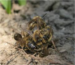 ground dwelling bees ground nesting bees in your backyard department of entomology