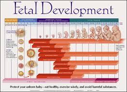 Fetal Development Chart