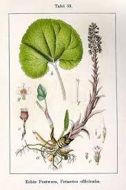 Petasites hybridus Butterbur, Pestilence wort PFAF Plant Database