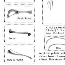 Owl Pellet Study Kit For Classrooms