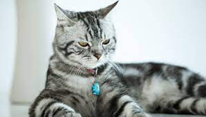 american shorthair weight by age full
