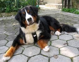 bernese mountain dog mix. Brilliant Mix Bernese Mountain Dog Full Grown For Mix