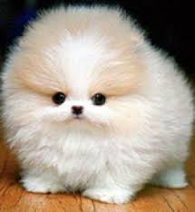 teacup pomeranian puppies for sale. Interesting For Picture Of Pomeranian Dog 1 On Teacup Puppies For Sale
