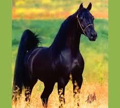 black arabian horse wallpaper. Unique Black Black Arabian Horse Wallpaper Jafar  Meadow Black Arabian In