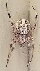 Spider Identification Chart California California Spider Id Request Neoscona Oaxacensis