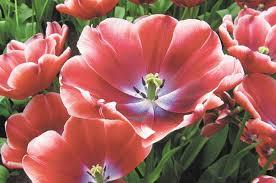 <b>Цветы</b>, дарующие счастье. Какие <b>тюльпаны</b> выбрать для сада ...