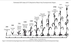 Wheat Growth Stages Chart Viewing A Thread Winter Wheat Tillering And Phyllochron Units