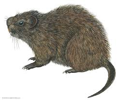 Rodents Lower Classifications Greater Cane Rat Rodent Britannica