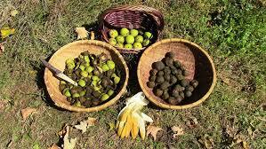 harvesting black walnuts. Simple Harvesting Processing Black Walnuts The Crime Scene With Harvesting Black Walnuts