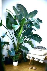 inspirational tall house plant indoor plants low light australia no large easy fern