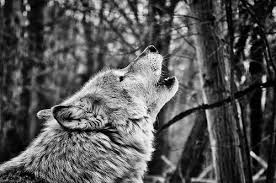 black and white wolf howling photography. Perfect Howling Photo By NumbUp All Night To Get Lucky  CC BYNCND 20 Black And White Wolf Howling Photography A