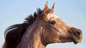 when a horse can t whinny the horse