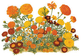 a poster for the now defunct american marigold society showing the diversity of flower