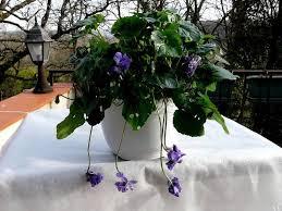Violette de Toulouse - Viola parmensis - Violette de Parme - Le temps des  Fleurs