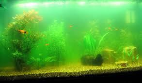 green water aquarium algae