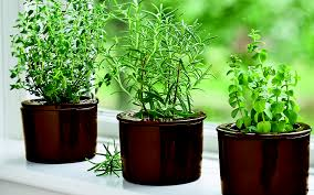 Herbs growing on windowsill: thyme, rosemary and oregano