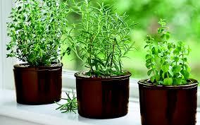 how to grow herbs indoors herbs growing on windowsill thyme rosemary and oregano