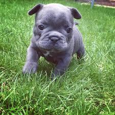 blue bulldog puppies. Exellent Bulldog In Blue Bulldog Puppies I