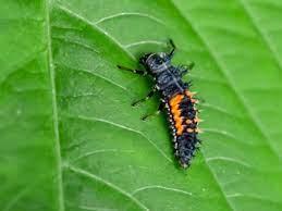ladybug larvaes and beneficial garden bugs