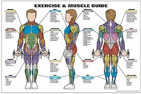 Exercise And Muscle Guide Male Fitness Chart Co Ed