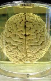 human brain essay human brain essay 1381 words paperdue com