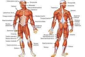Description Of The Muscular System – citybeauty.info