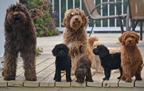 cute puppies for sale 2014. Beautiful Sale Australian Labradoodle Breeder Intended Cute Puppies For Sale 2014 C