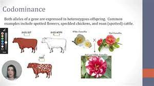 Codominance is easy to spot in plants and animals that have more than one pigment color. Codomiance In Genetics Refers To Codominance And Incomplete Dominance Practice 3 Youtube Codominance In Genetics Is A Type Of Interaction Between Alleles