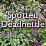Spotted deadnettle, Lamium maculatum – Master Gardener Program