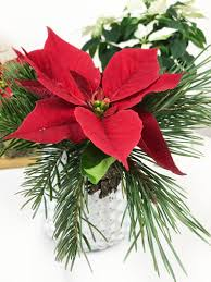 Weihnachtsstern Der Klassiker Blumen Und Deko Im Winter
