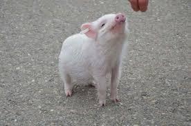 Göttingen Mini Pig The Essential Guide Pet Pig World