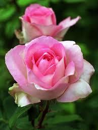 Hybrider Tee Rose Beverly   Hybrid tea roses, Tea roses, Beautiful ...
