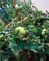 How Would A Tomato Look Under Blue Light Early Blight On Tomato Plants