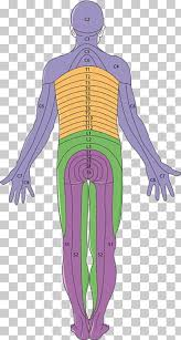 15 Dermatome Png Cliparts For Free Download Uihere