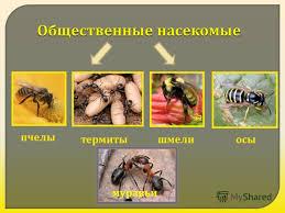 Презентация на тему Общественные насекомые пчелы термитышмелиосы  1 Общественные насекомые пчелы термитышмелиосы муравьи