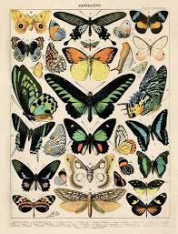 Vintage French Butterfly Print Diagram Butterflies Chart