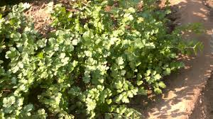 Organic Kitchen Garden Organic Kitchen Garden Benefits Of Coriander Cilantro Or Dhaniya