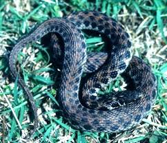 home design baby garden snakes what does garden snakes eat what do wild baby garden snakes eat baby