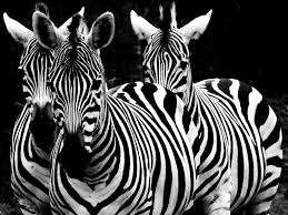 Zebra Patterns Impressive Zebra Patterns Of Black And White WDW48 Your 48° View Of