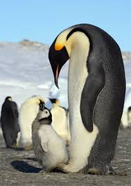 emperor penguins eating. Contemporary Eating Emperor Penguins Eating Fish  Photo3 On Penguins Eating N