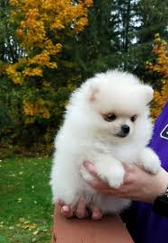 free teacup pomeranian puppies. Delighful Teacup Image 1 Of To Free Teacup Pomeranian Puppies