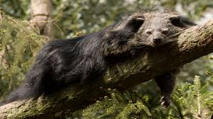 Small Picture Binturong