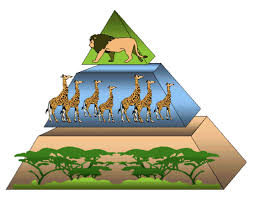 animal food pyramid. Plain Food The Above Energy Pyramid Shows Many Trees And Shrubs Providing Food  To Giraffes Note That As We Go Up There Are Fewer Giraffes Than  Inside Animal Food Pyramid N