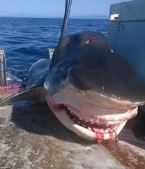 jaws from tiger shark caught off tweed heads emerge  the massive shark swallowed a six foot hammerhead just before it was pulled aboard the