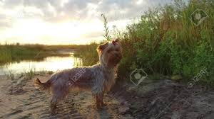 Video By The Lake Yorkshire Terrier Pet Dog At Sunset By The Lake In The Nature