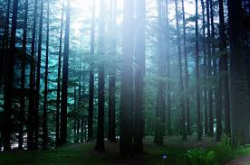 Pine Forest Background Free Stock Photo Public Domain Pictures