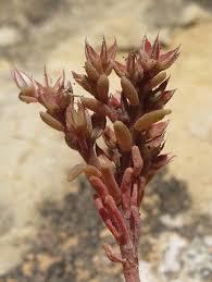Sedum caespitosum (Broad-leaved Stonecrop) : MaltaWildPlants ...
