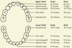 Permanent Teeth Eruption Chart Primary And Permanent Teeth Questions And Answers